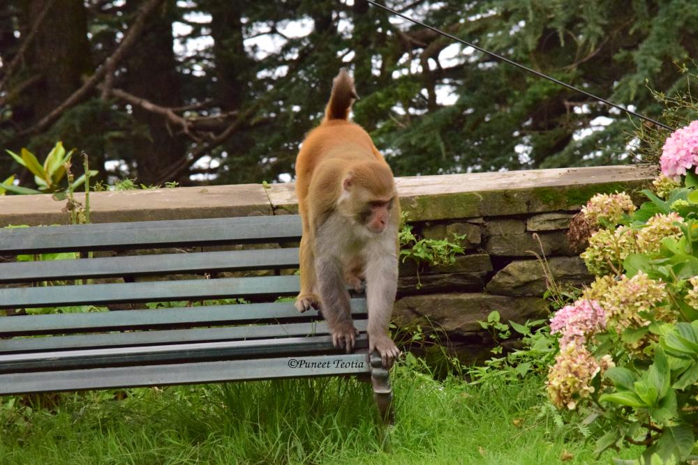 Monkey at Chail Palace